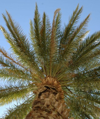 Big Palm Tree from underneath